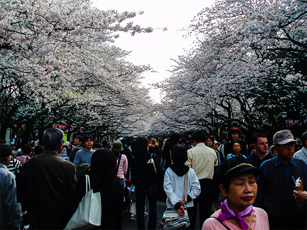 япония, сакура1