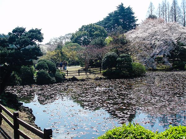 япония, сакура