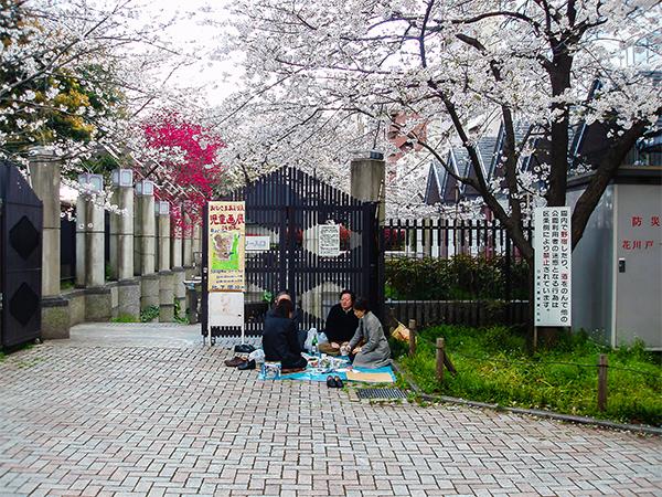 япония, сакура4