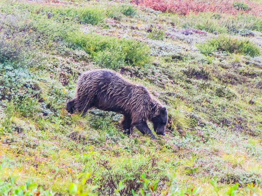 alaska-bear1