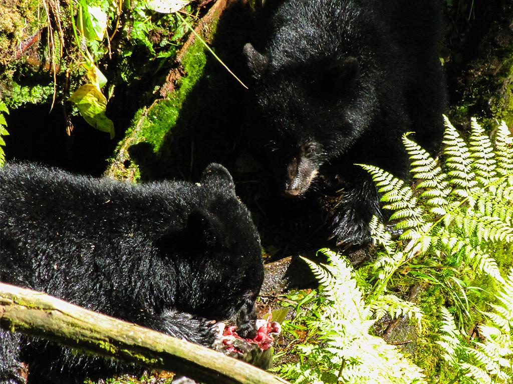 alaska-bear2