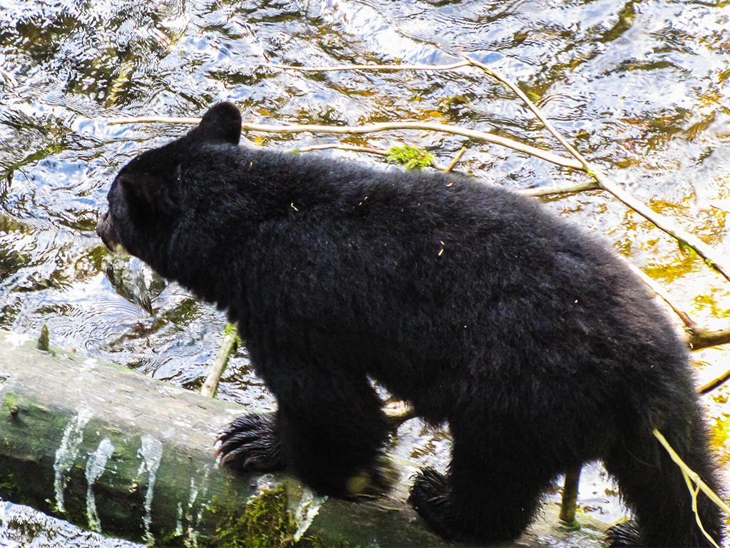 alaska-bear4