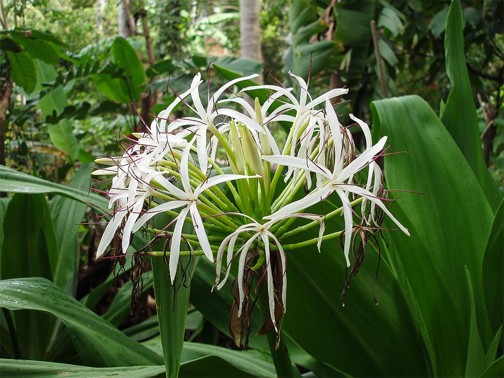 цветы-шри-ланка1
