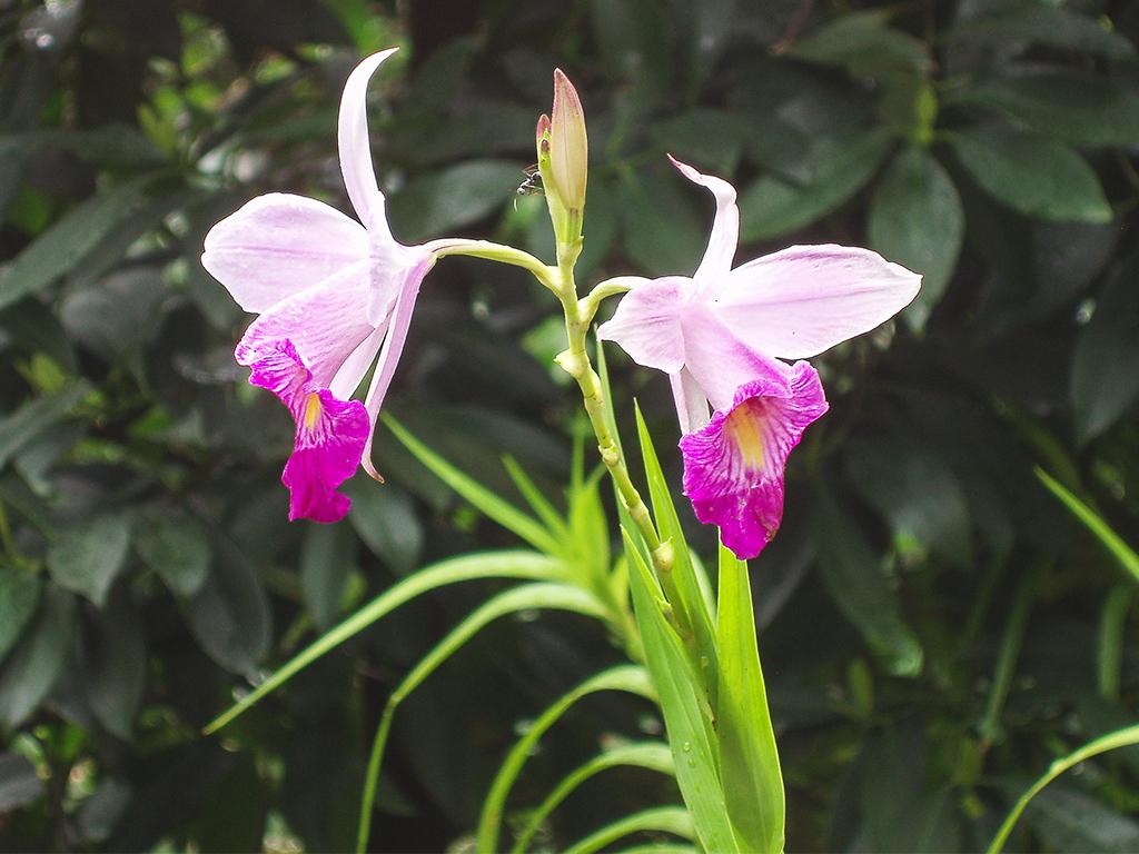 цветы-шри-ланка2