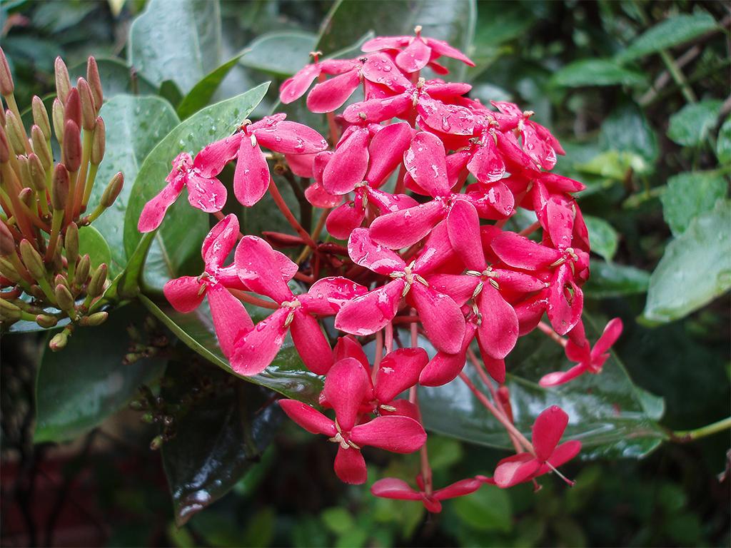 цветы-шри-ланка3