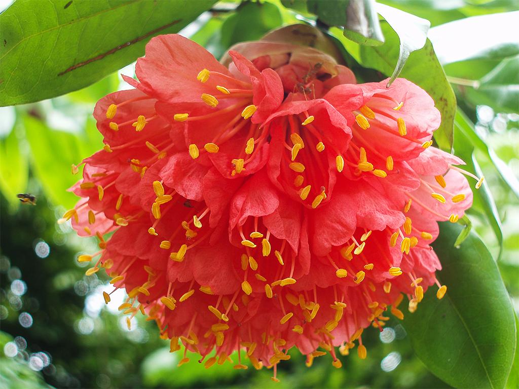 цветы-шри-ланка5