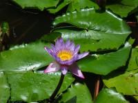 цветы-шри-ланка6