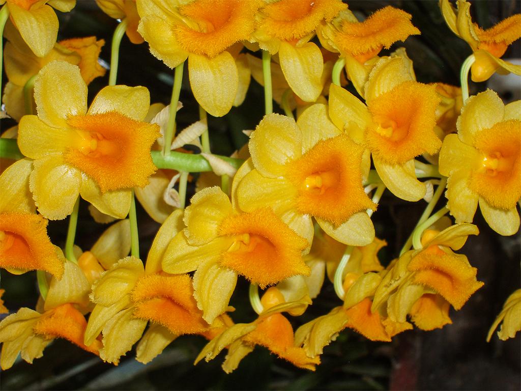цветы-шри-ланка_3