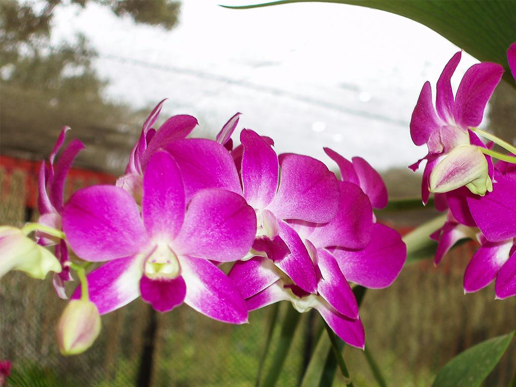 цветы-шри-ланка_4