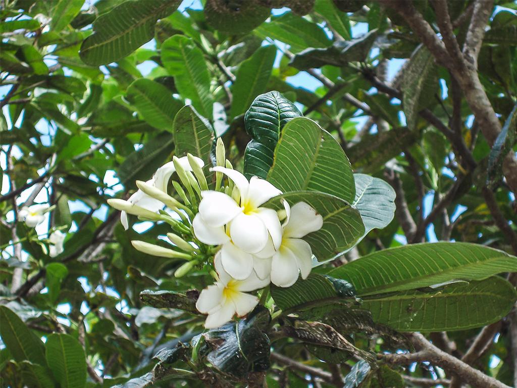 цветы-шри-ланка_5
