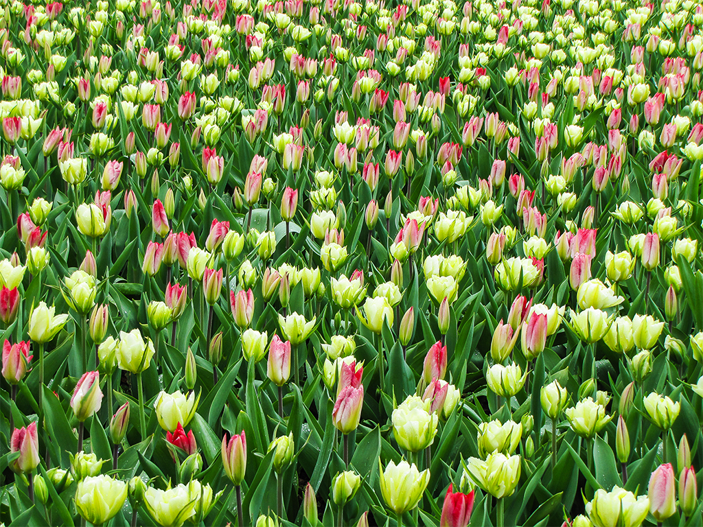 парк-цветов-нидерланды4
