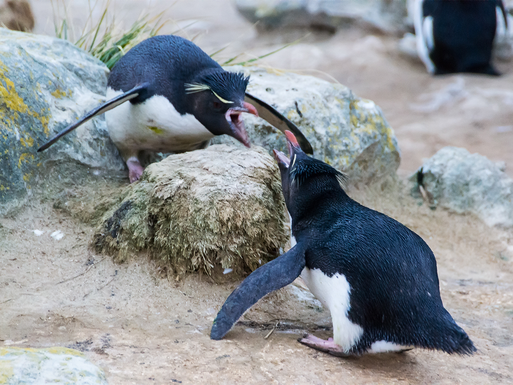 разборки-пингвинов