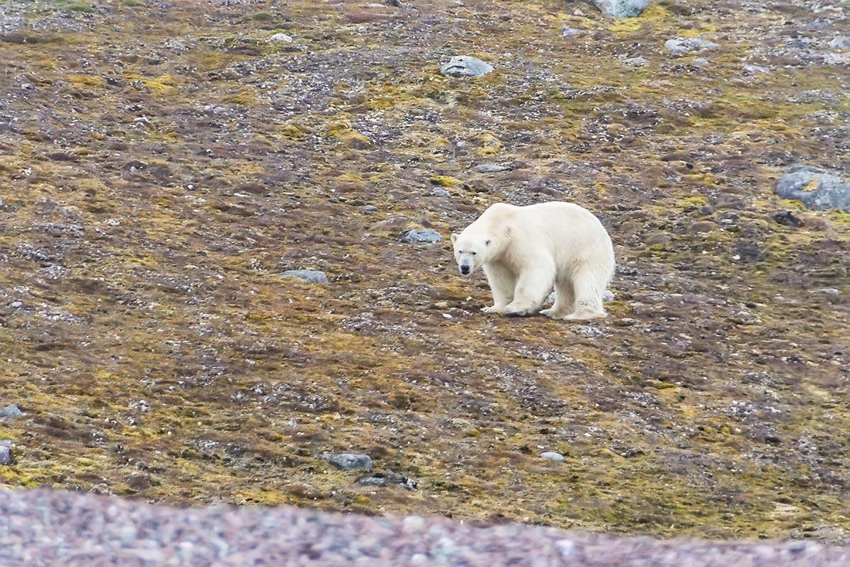 арктические-животные4