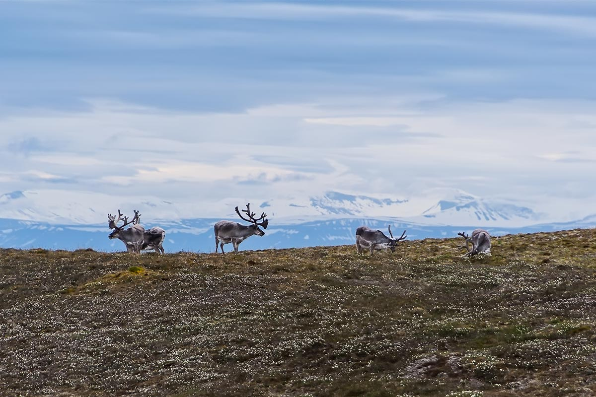арктические-животные5