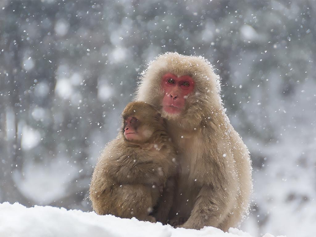 япония-снежные-обезьяны-2