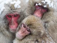 япония-снежные-обезьяны-3