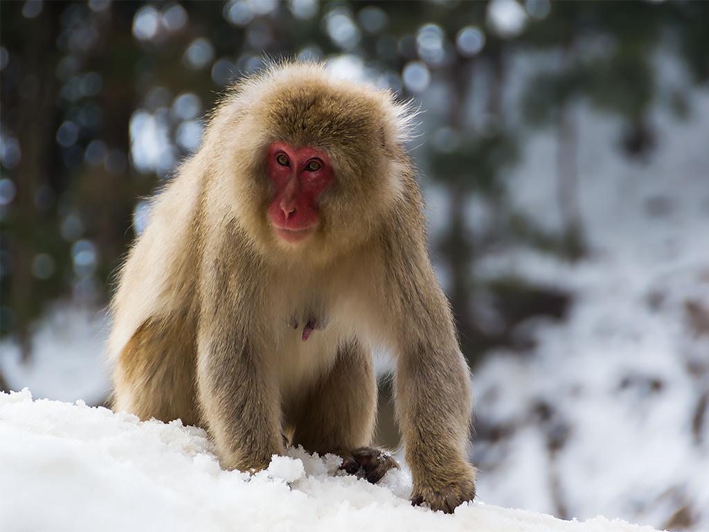япония-снежные-обезьяны-4