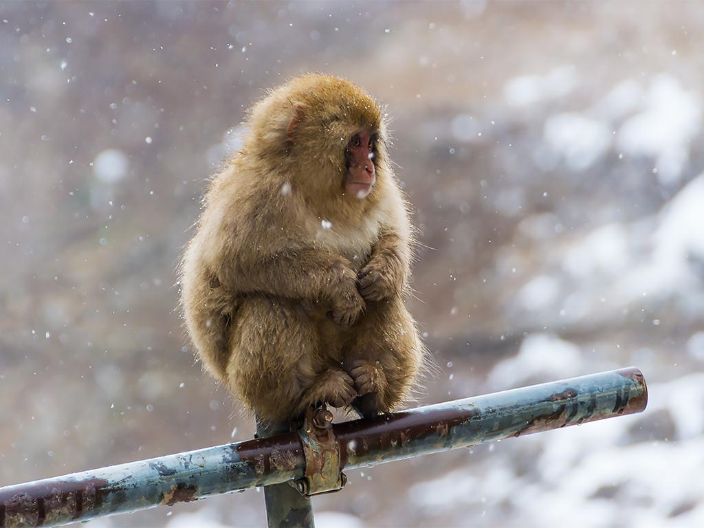 япония-снежные-обезьяны-5