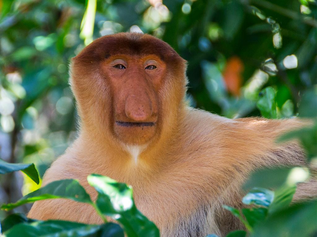 обезьяны-носачи-2