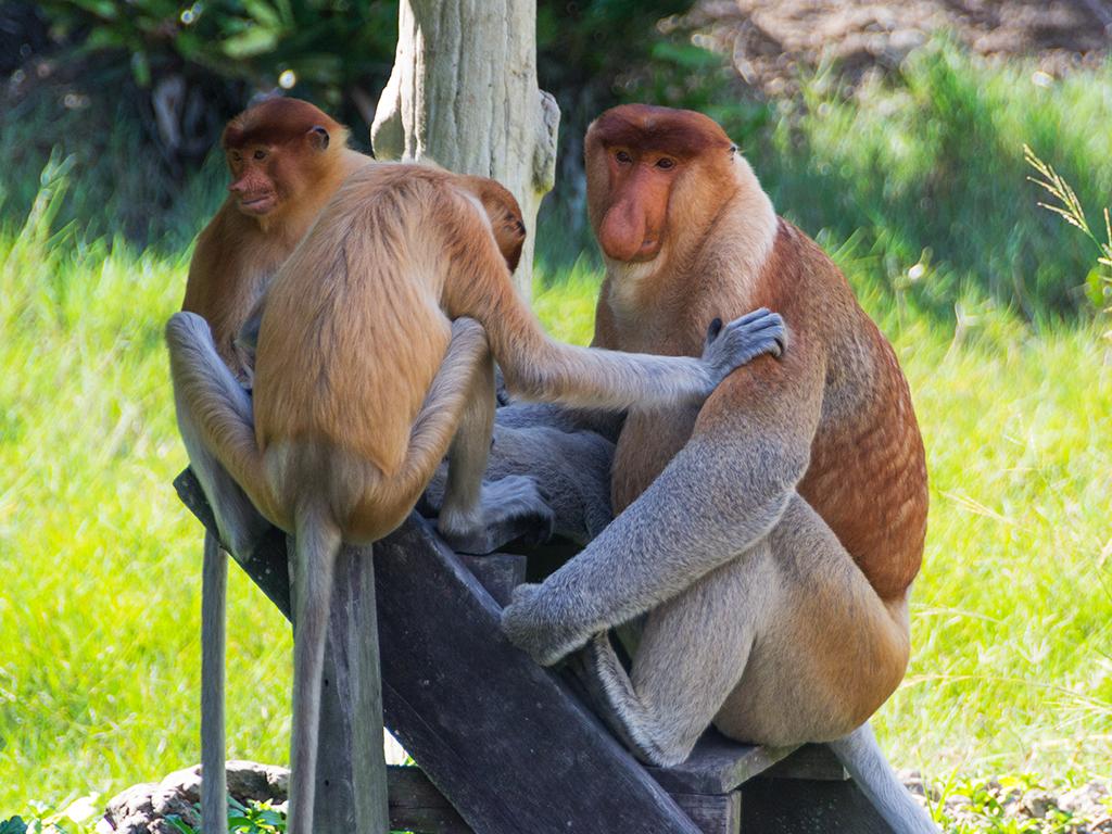 обезьяны-носачи-4
