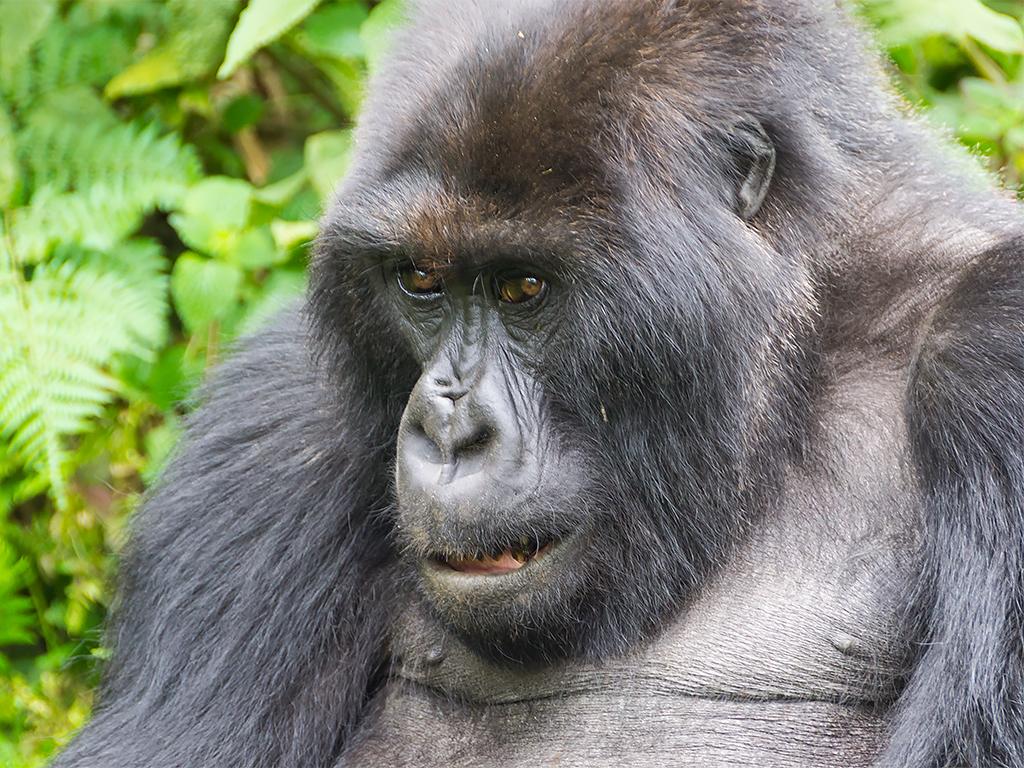 горилы-горные-руанда-1