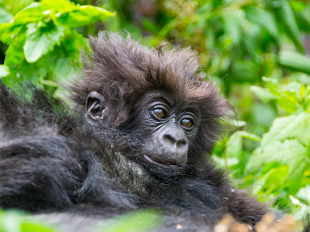 горилы-горные-руанда-3