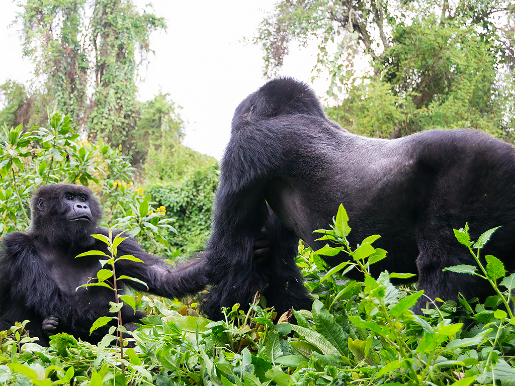 горилы-горные-руанда-4