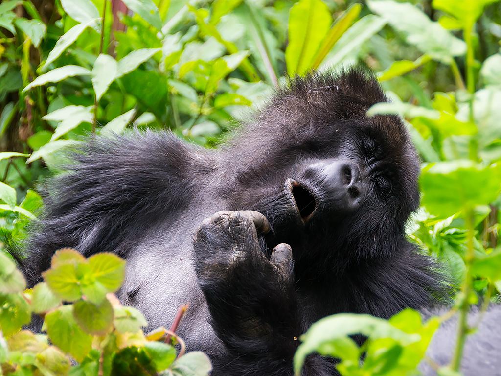 горилы-горные-руанда-5
