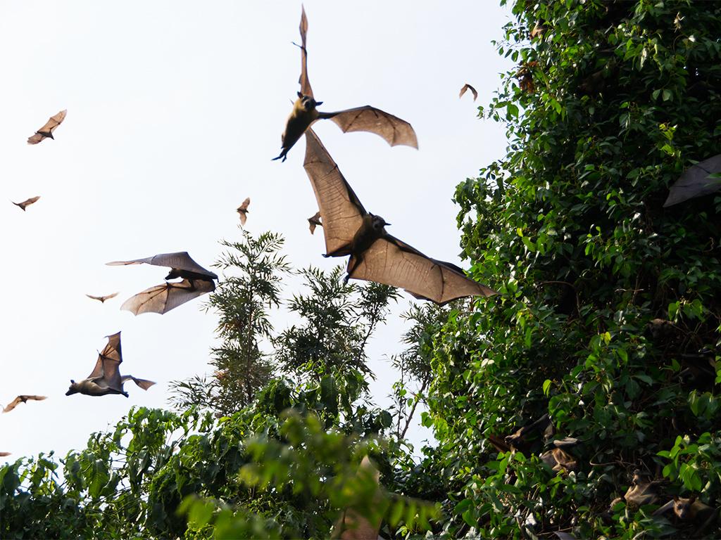 руанда-летучие-мыши-3