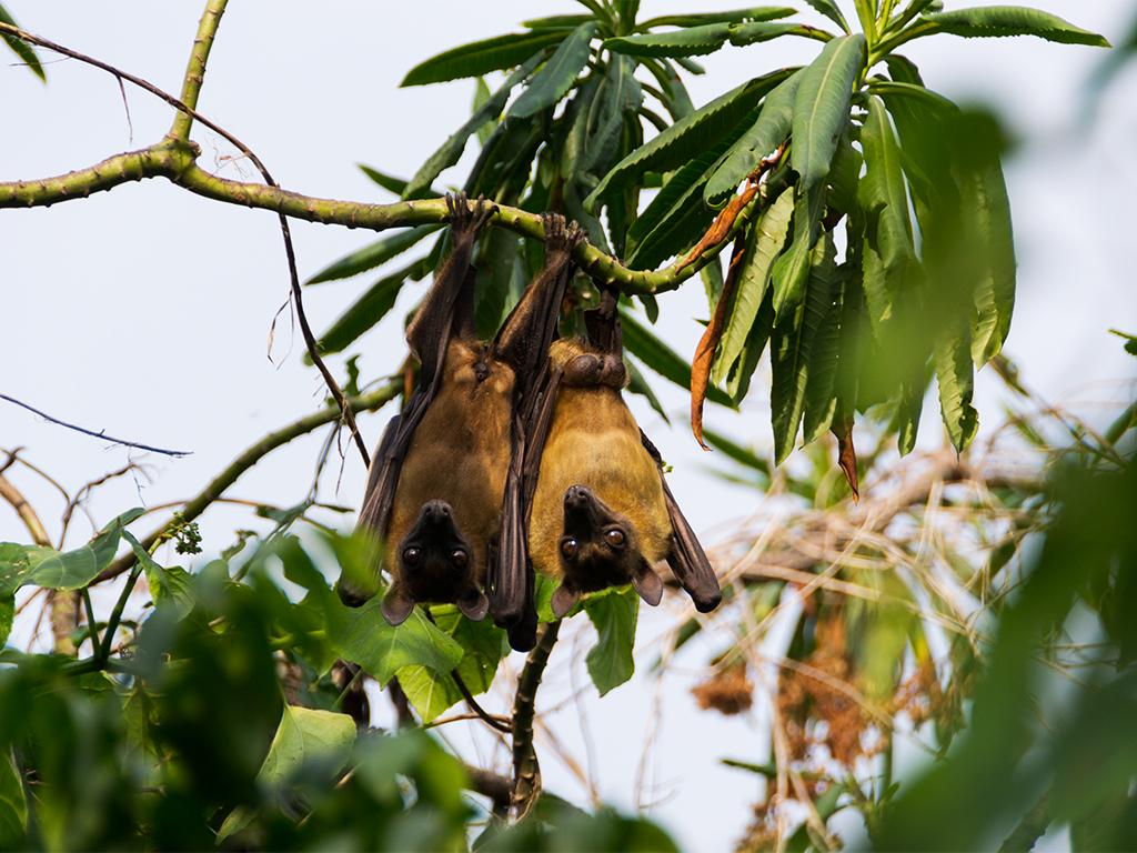 руанда-летучие-мыши-4