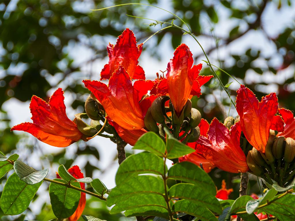 руанда-тюльпанное-дерево-1