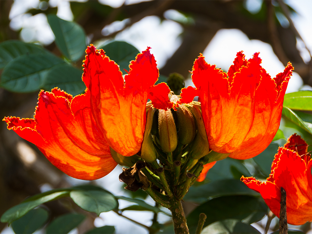 руанда-тюльпанное-дерево-3