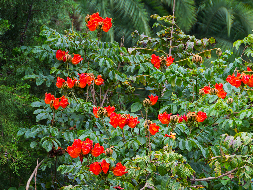 руанда-тюльпанное-дерево-4