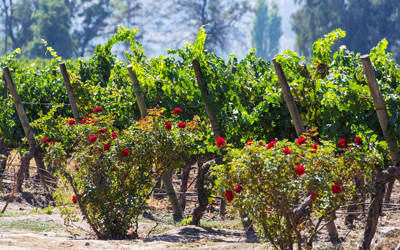 вина-сантьяго-чили-5