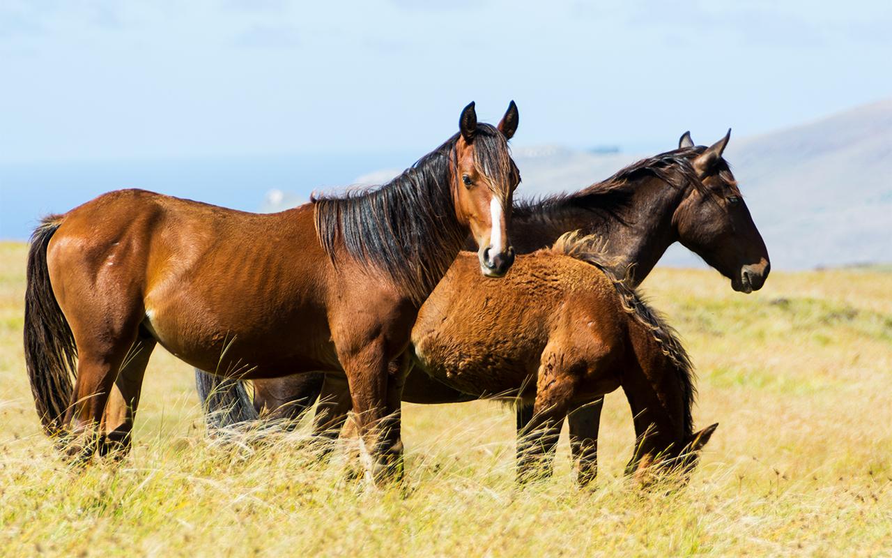 лошади-остров-пасхи-чили-1