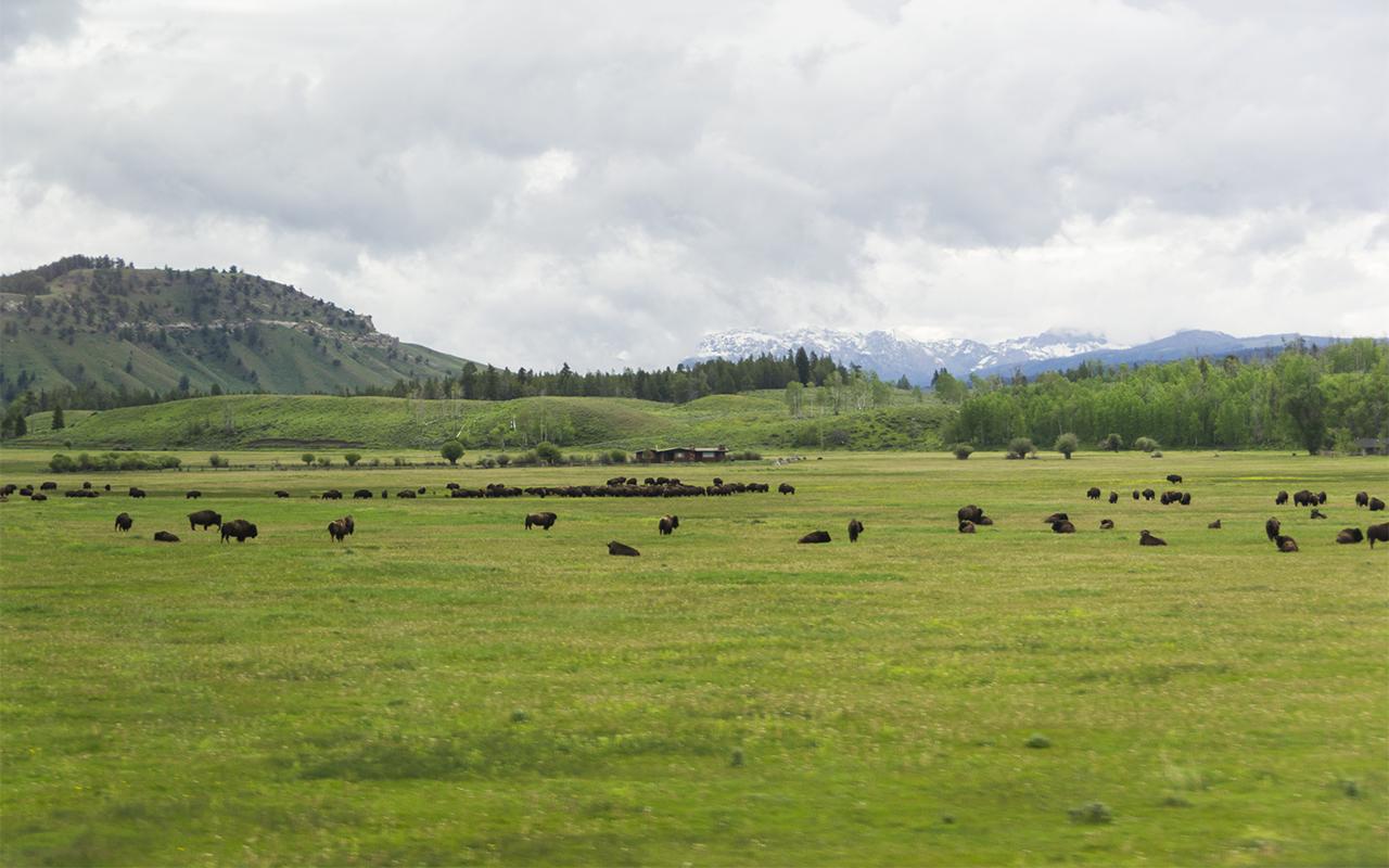 америка Yellowstone животные 1