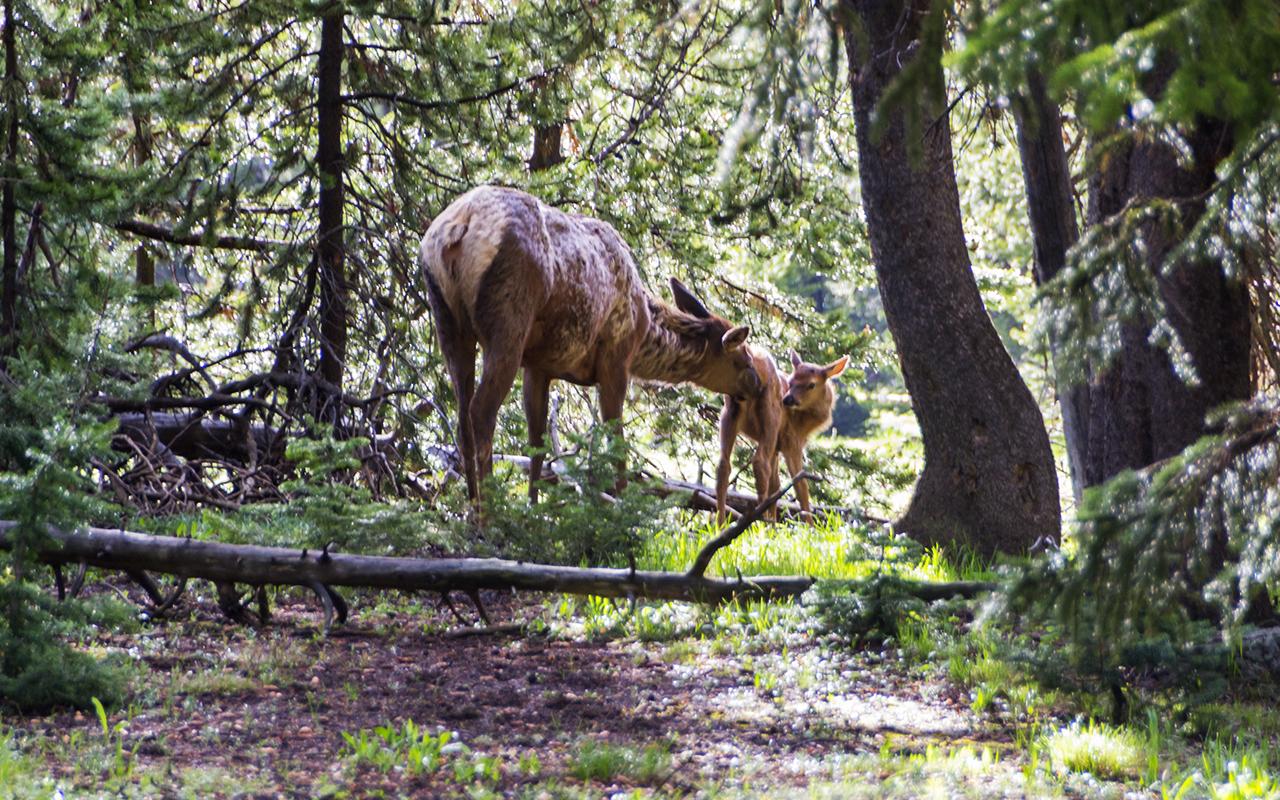 америка Yellowstone животные 2