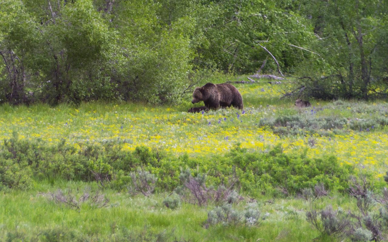 америка Yellowstone животные 3