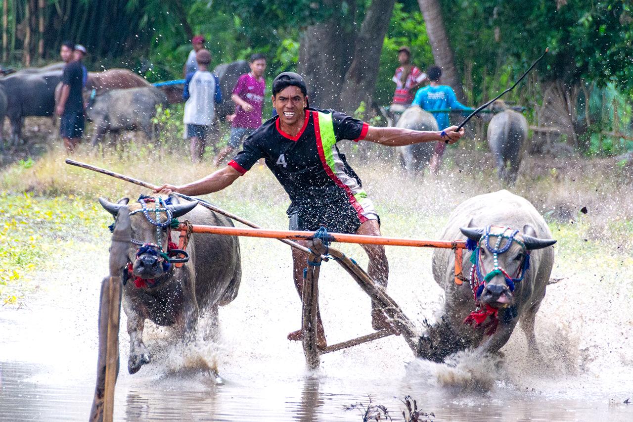 буйволы-индонезия-01
